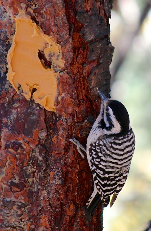 redlesswoodpecker.jpg