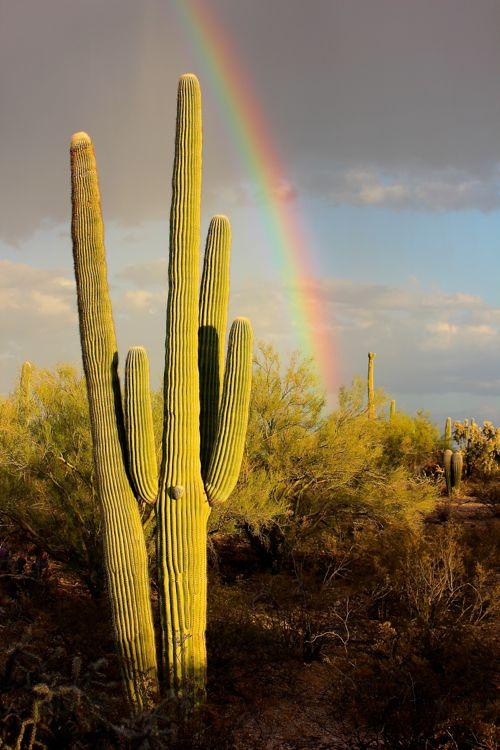 saguarobow.jpg